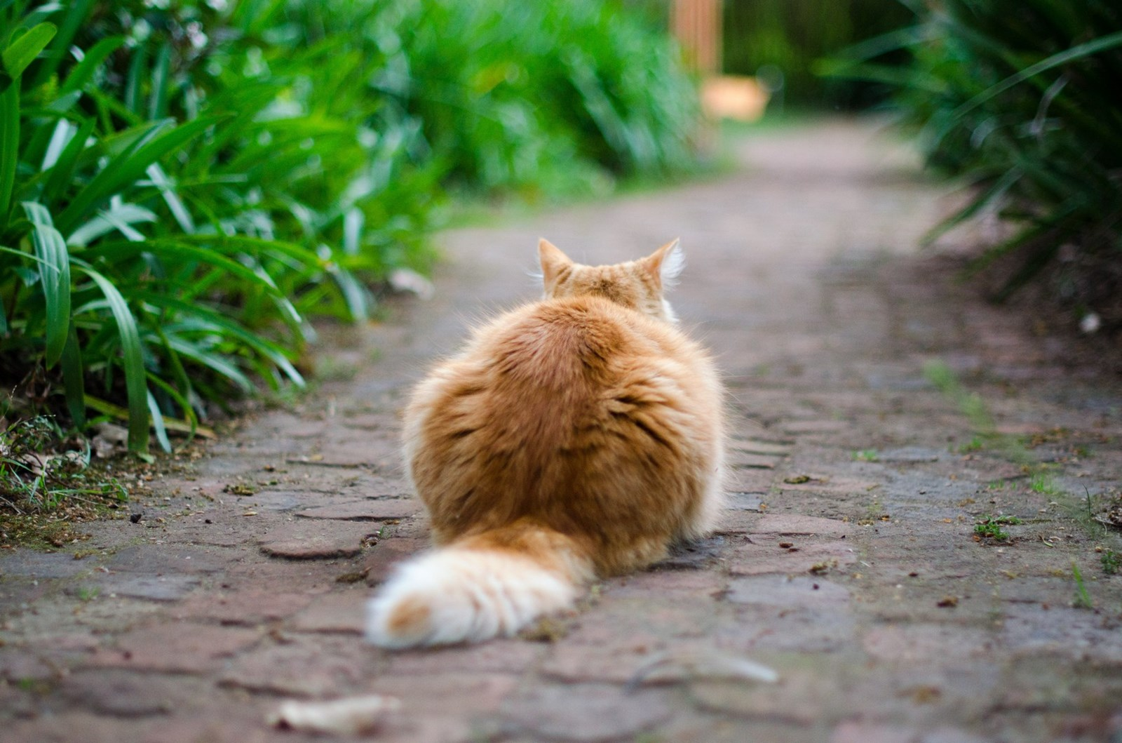 Ginger cat sitting on a brick path