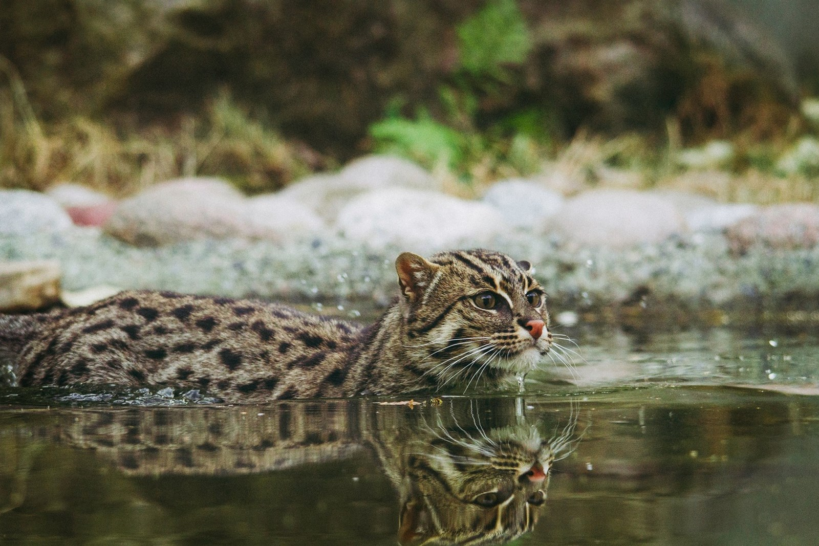 Brown spotty cat in water