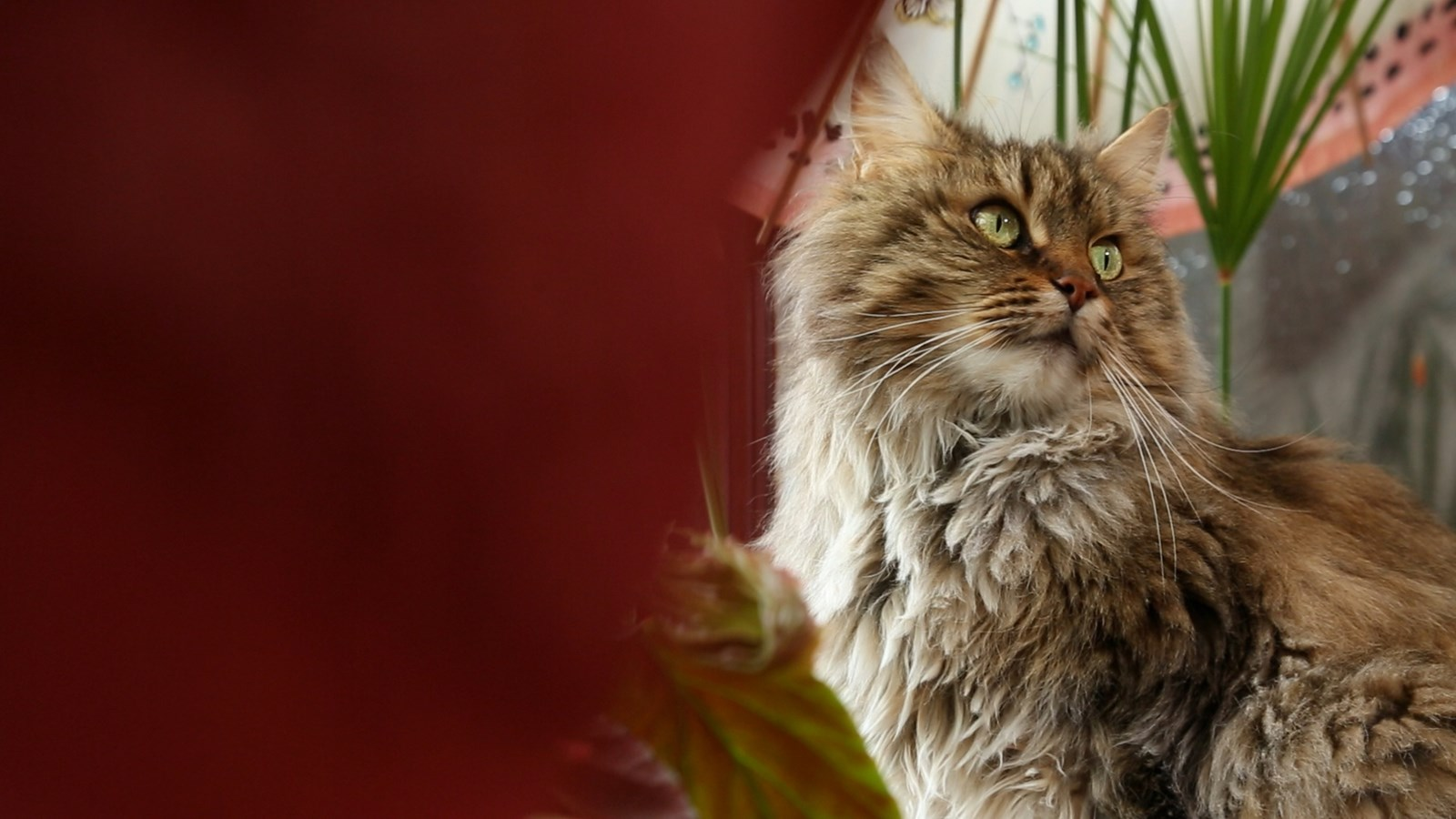 brown fluffy cat with green eyes