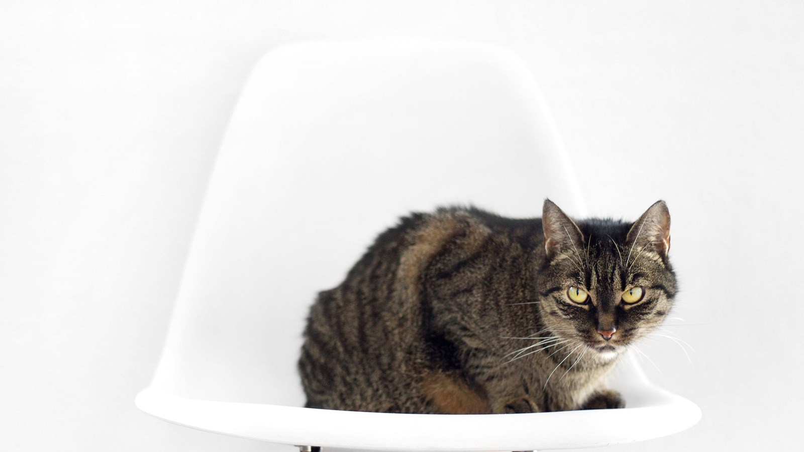 brown cat with yellow eyes sitting on white chair