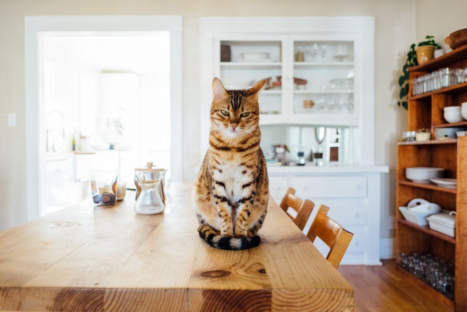 Angry cat on dining table