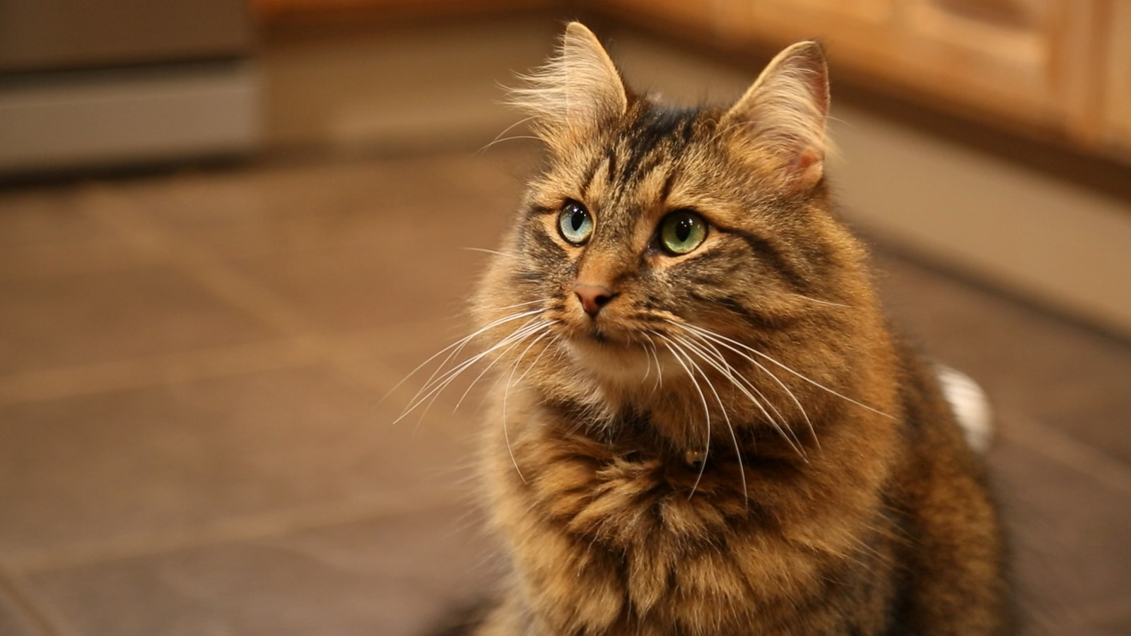 brown and ginger tabby cat