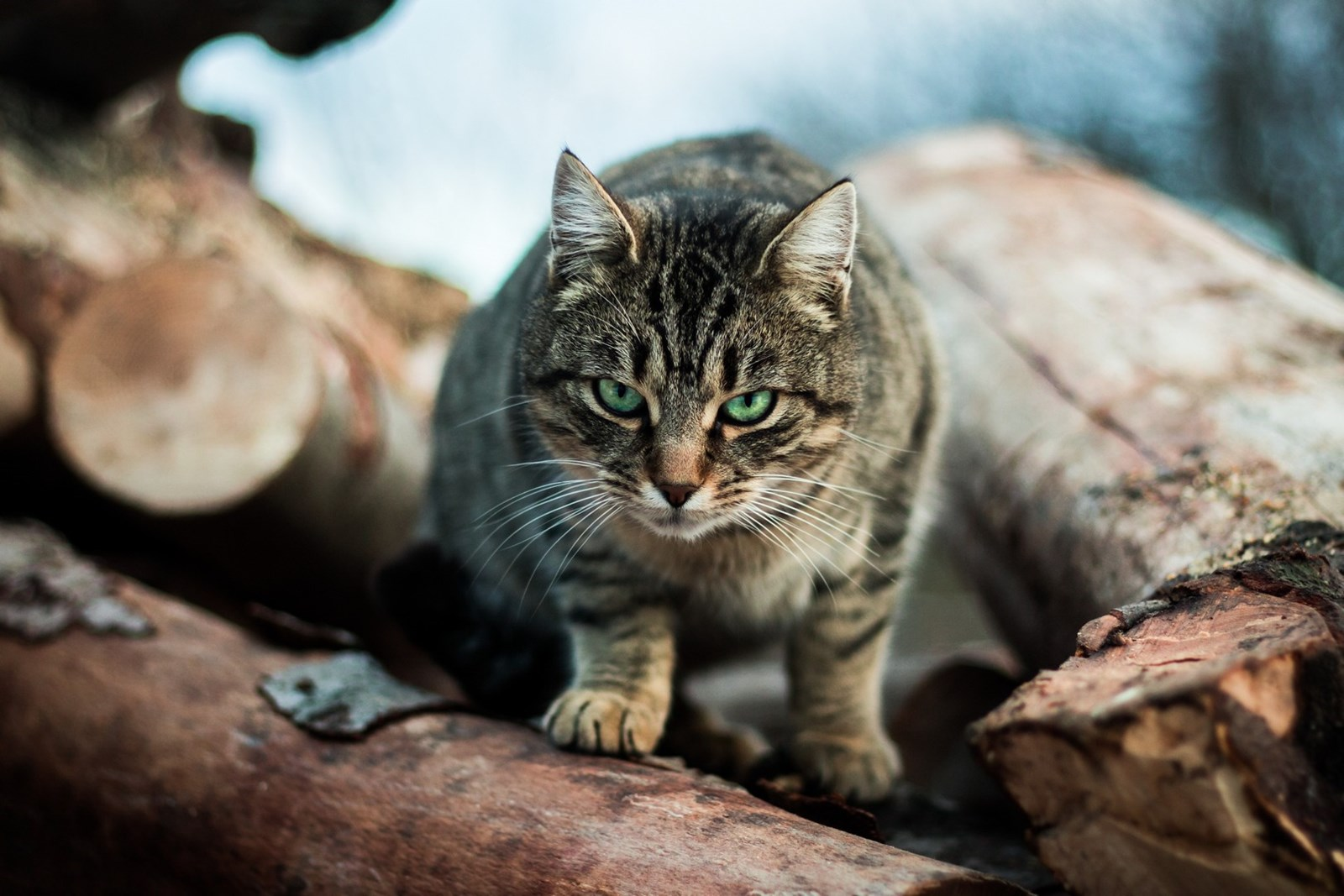 Angry brown stripey green eyed cat on logs