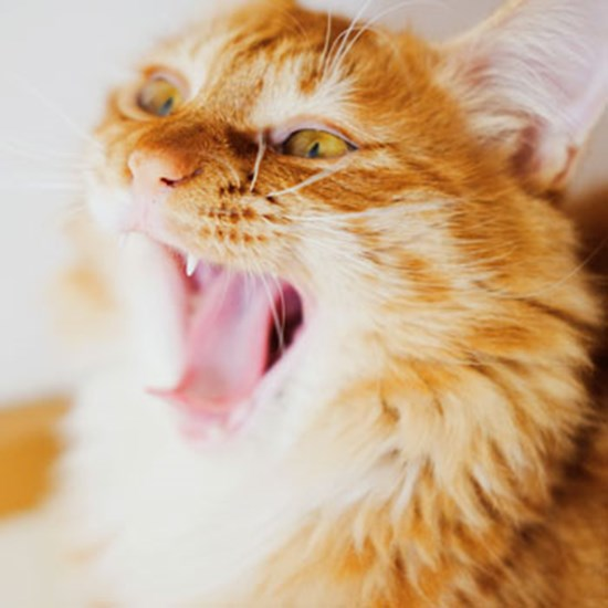 Cat Dental Care Cat Teeth Cleaning Advice Cats Protection