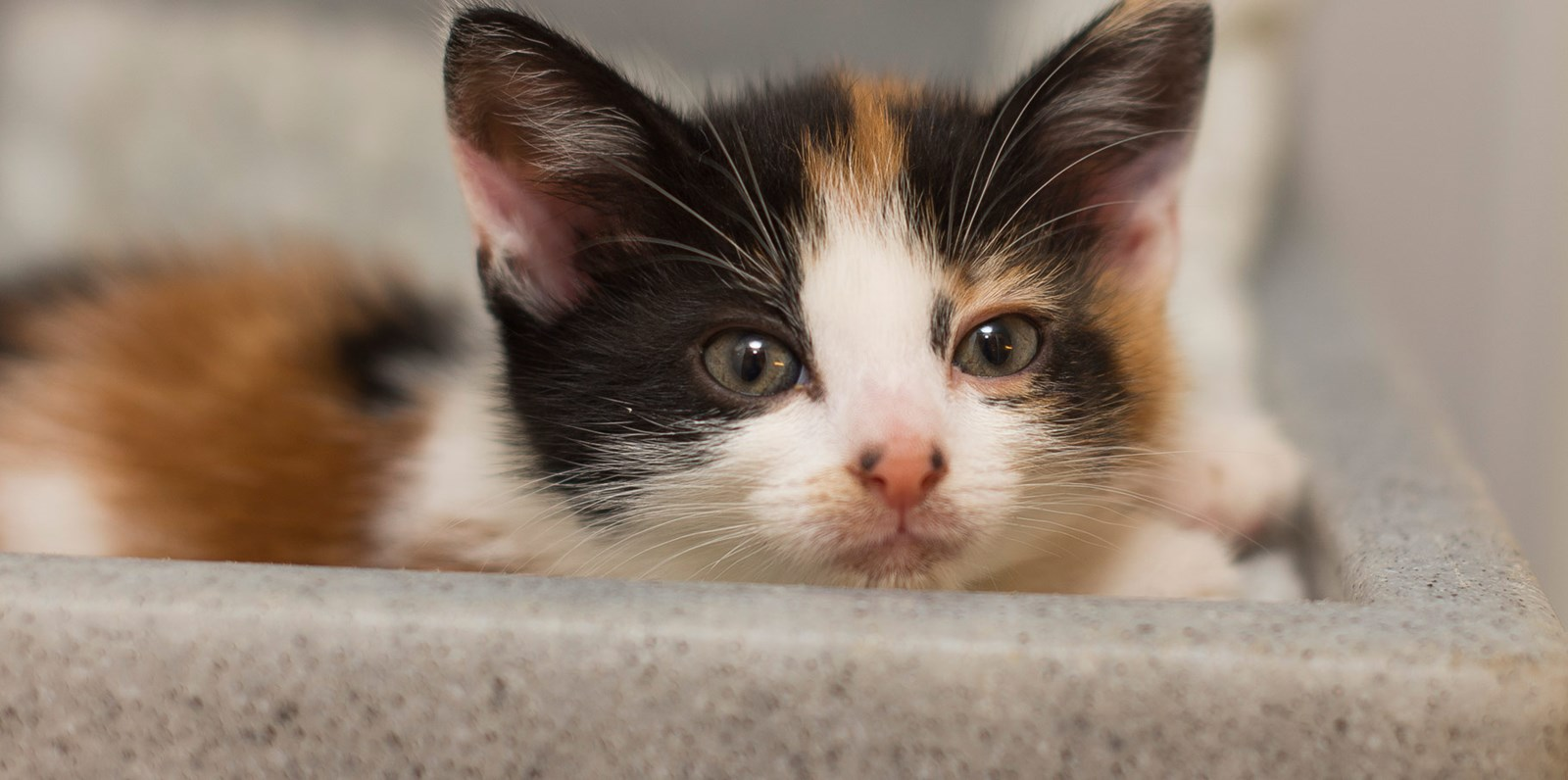 Kitten with ginger, black and white fur