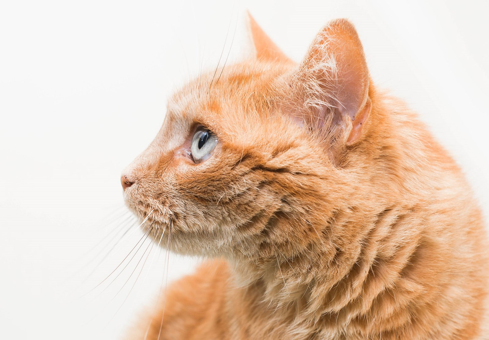 ginger cat looking left