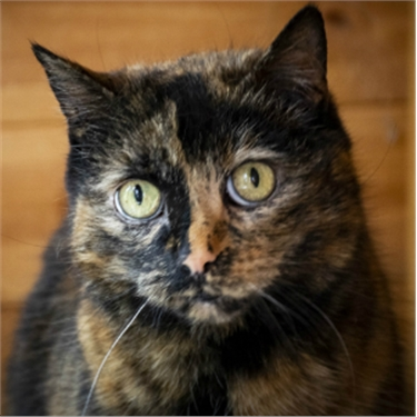 Tortoiseshell cat looking at the camera