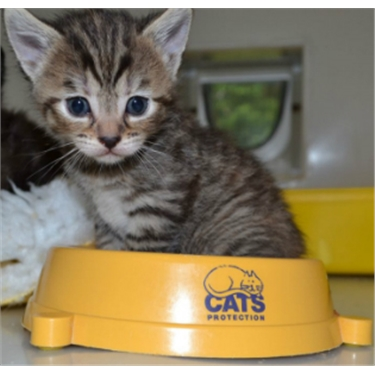 Tabby kitten with a Cats Protection bowl