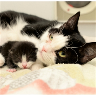 Black and white cat with kitten