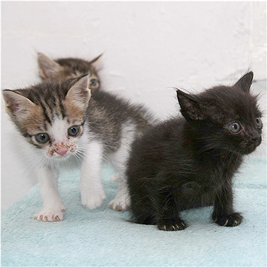 Two tabby white and one black kitten