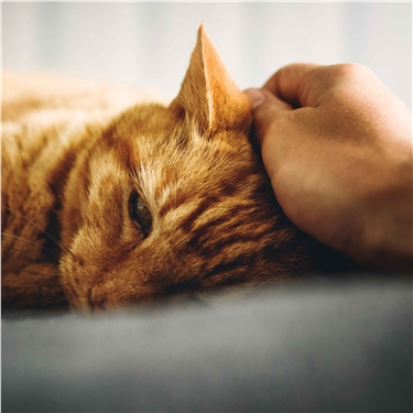 Ginger cat having its head scratched
