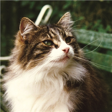 Long haired tabby cat