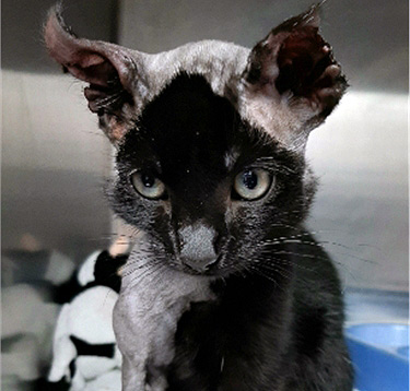 Kitten injured by hiding in a car engine