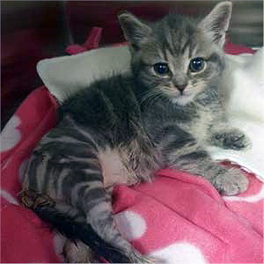 Grey tabby rescue kitten