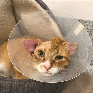 Ginger cat wearing a cone