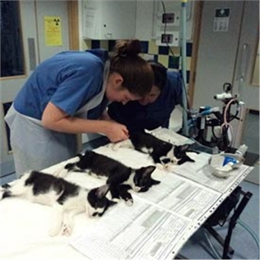 Kittens being neutered