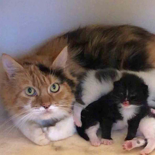 Ginger and white cat with kittens