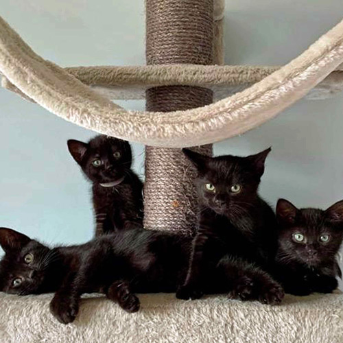 Black kittens on a scratching tower