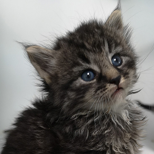 Tabby kitten with blue eyes