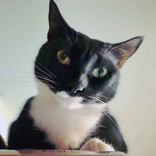 Black-and-white cat looking at camera
