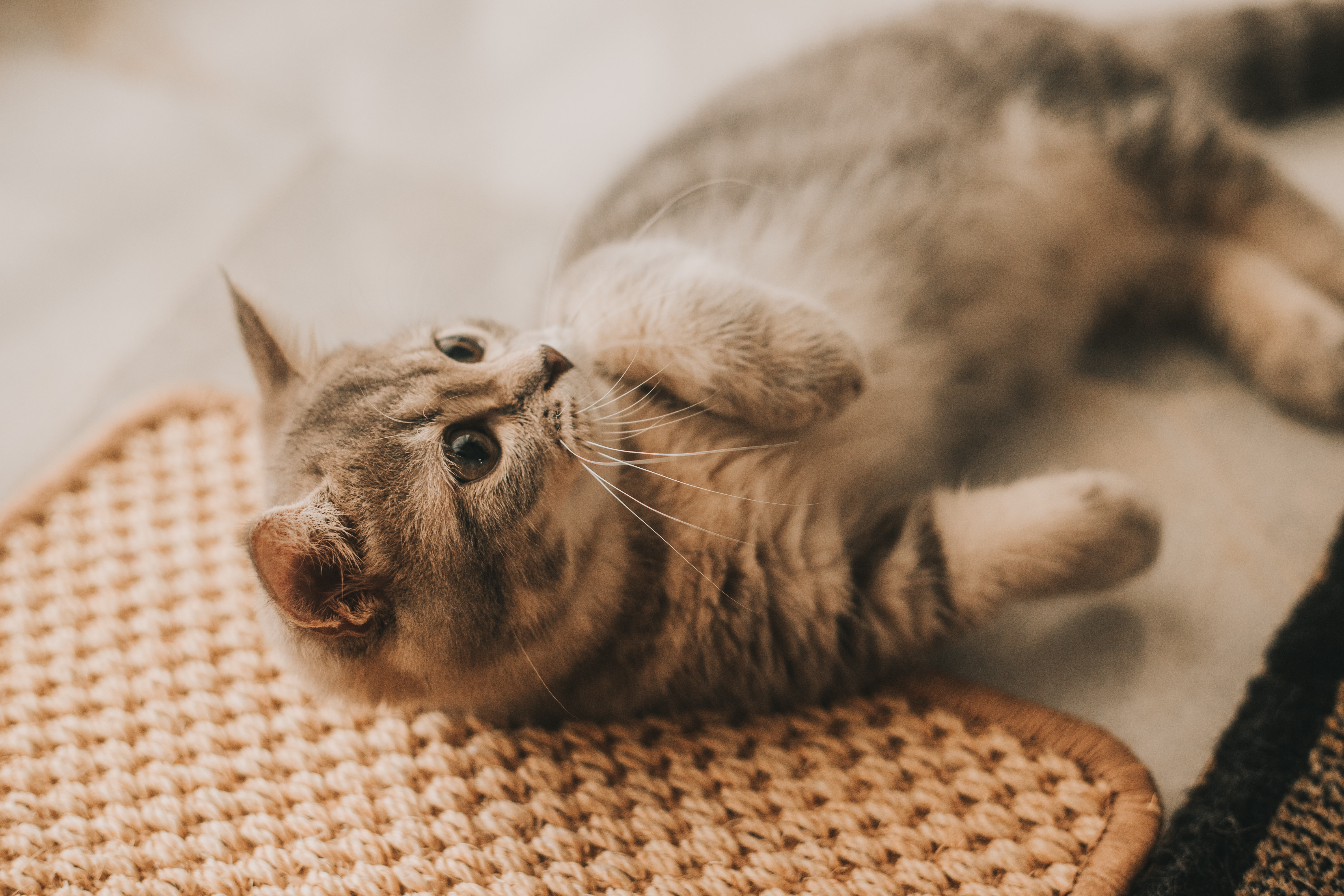 Cats With Cerebellar Hypoplasia Caring For Wobbly Cats And Kittens