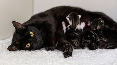 black cat with litter of kittens feeding
