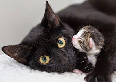 black cat with tabby and white kitten by face