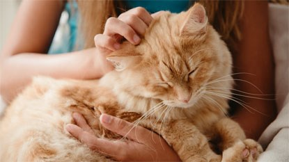 ginger cat being stroked by woman's hand