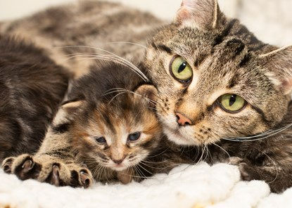Tabby mum cat with paw over tabby kitten