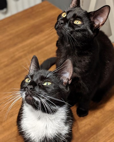 two black cats sitting on hardwood floor