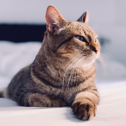 tabby cat lying on bed looking away