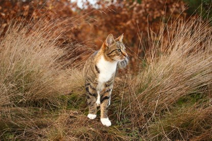 white tabby cat walking through long grass