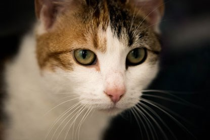 close up of tabby and white cat's face