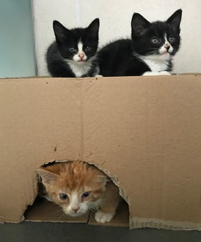 two black and white kittens on cardboard box with ginger kitten inside box