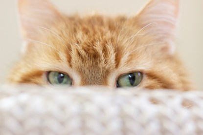 ginger cat peeking over the top of a cushion