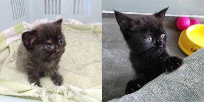 collage of 3 week old black kitten and 7 week old black kitten