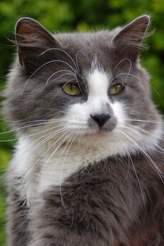 Grey-and-white cat Baby