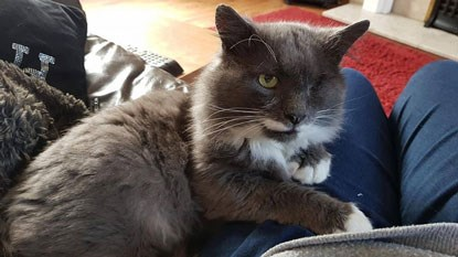 grey and white cat with one eye sitting on lap