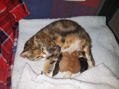 tabby cat with litter of kittens feeding