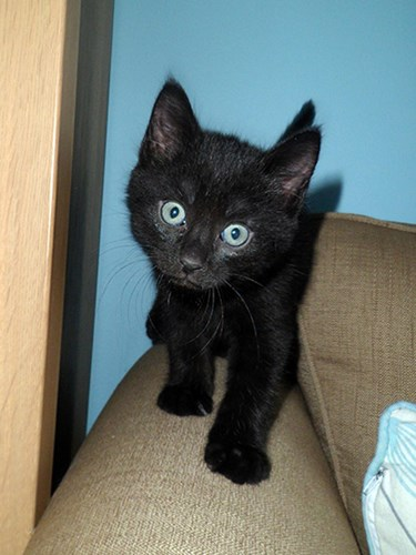 black kitten on arm of sofa