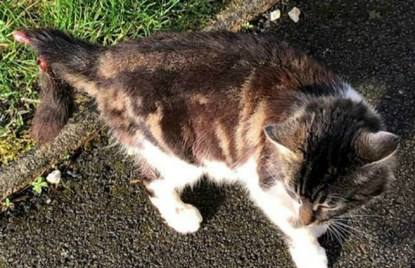 tabby and white cat with injured tail