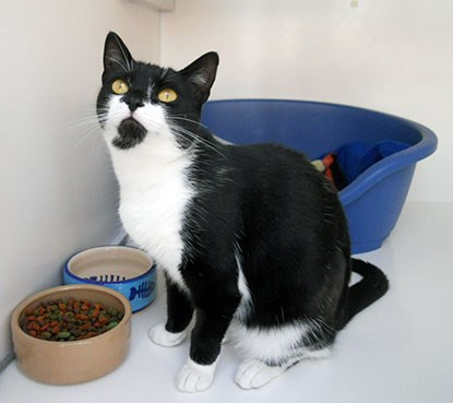 black and white cat in adoption centre pen