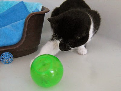 black and white cat playing with a ball puzzle feeder