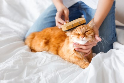 ginger cat having their hair brushed by a person