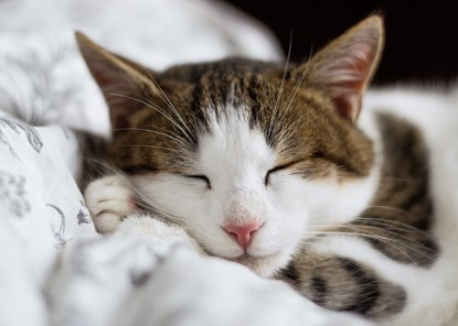 Tabby and white cat sleeping on top of white duvet cover