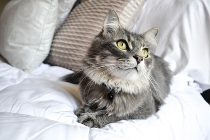 grey long-haired cat lying on white bedding