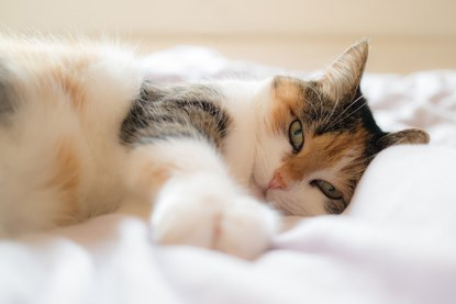 tabby, ginger and white cat lying on bed