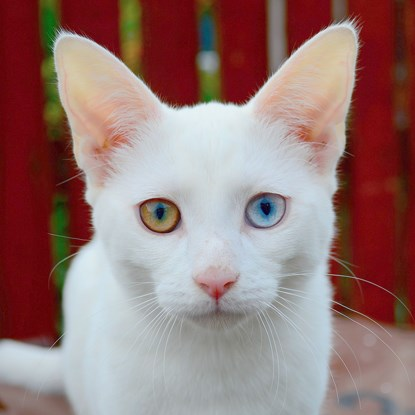 white cat with blue and yellow eyes