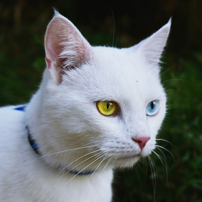 white cat with different coloured eyes – heterochromia