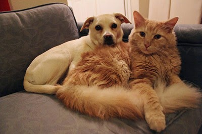 fawn dog and ginger cat on chair together
